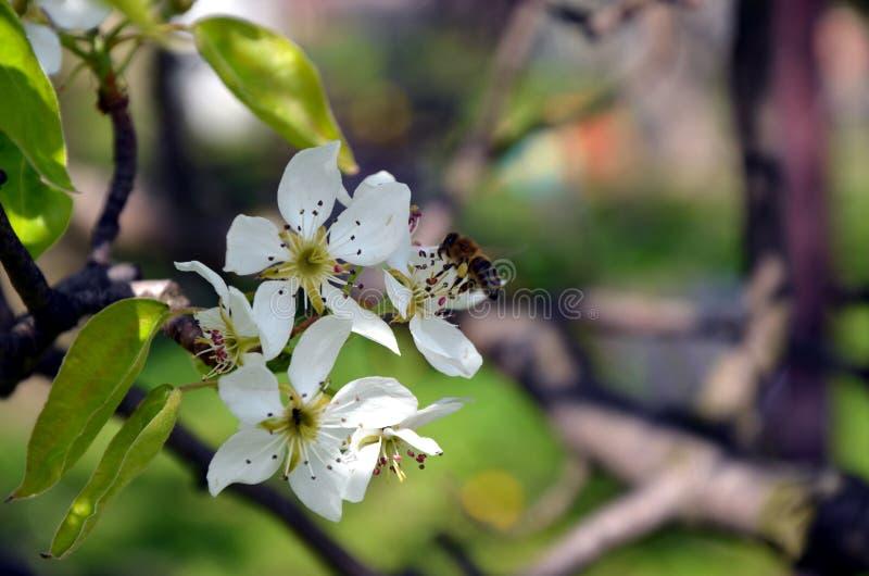 Kersenboom - de bloemen van de Kersenbloesem op de lentetijd stock foto's