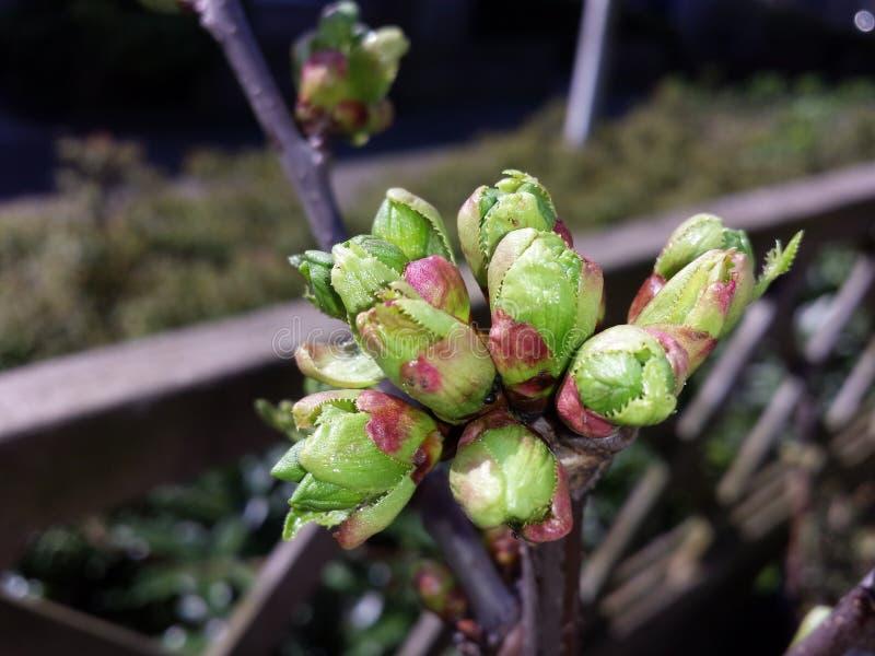 Kersenboom in de knoop royalty-vrije stock afbeelding