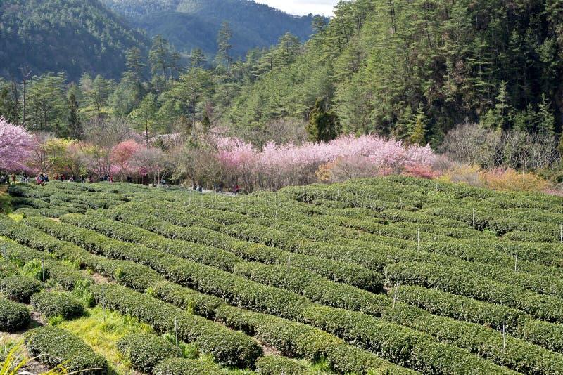 Kersenboom in Wuling-Landbouwbedrijf Taiwan stock foto's