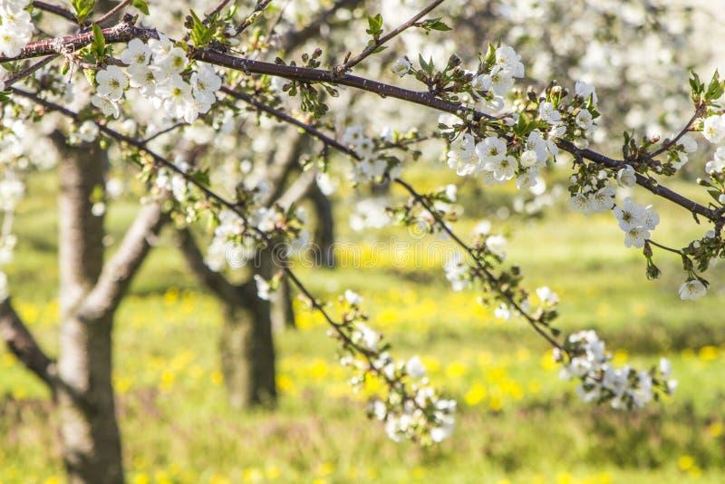 Kersenboomgaard met bloesems in helder zonlicht met rijen van tre royalty-vrije stock fotografie