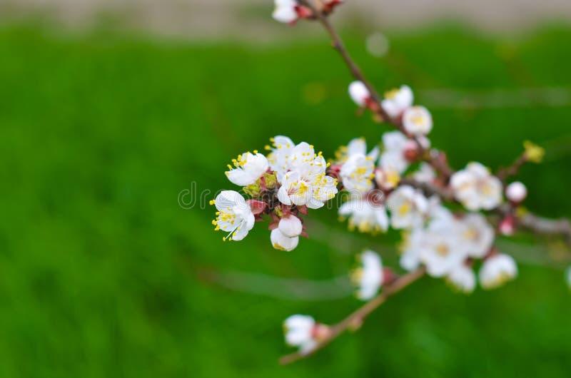 Kersentakjes met wit het bloeien bloesemclose-up, de lentetijd stock afbeeldingen