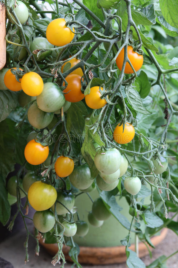 Kersentomatenplanten stock afbeeldingen