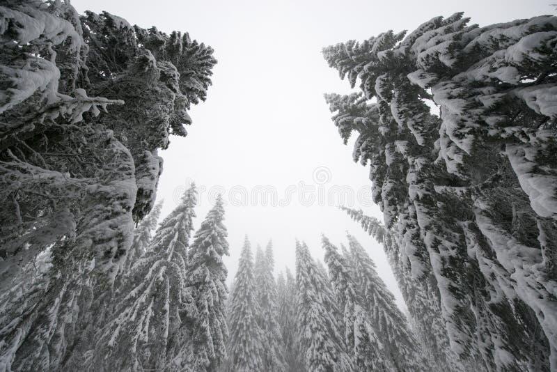 Kerstbomen die zich lang in de winter bevinden royalty-vrije stock afbeelding