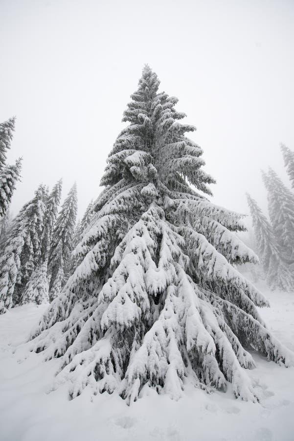 Kerstboom in zijn natuurlijke habitat stock afbeeldingen