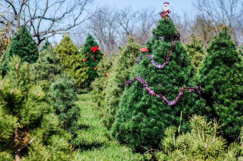 Kerstboomlandbouwbedrijf stock afbeelding