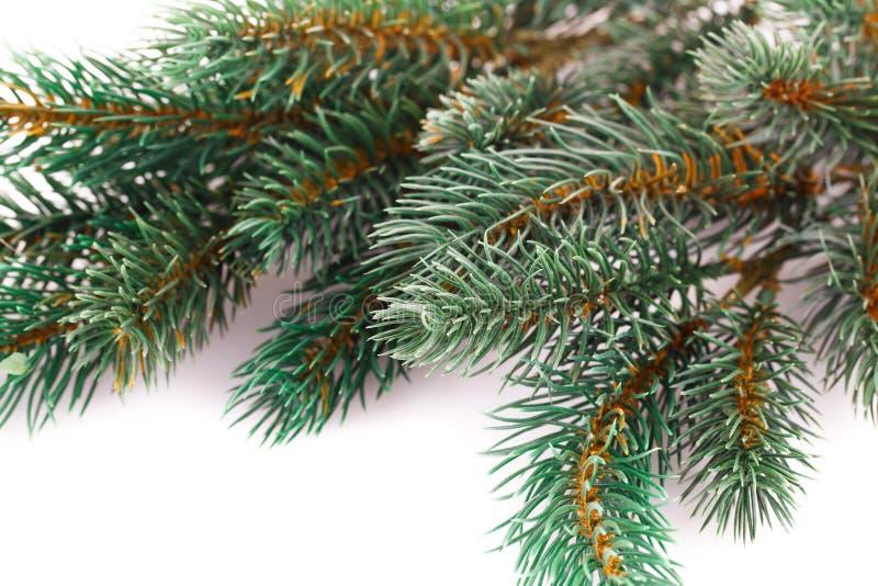 Kerstboomtak stock foto's