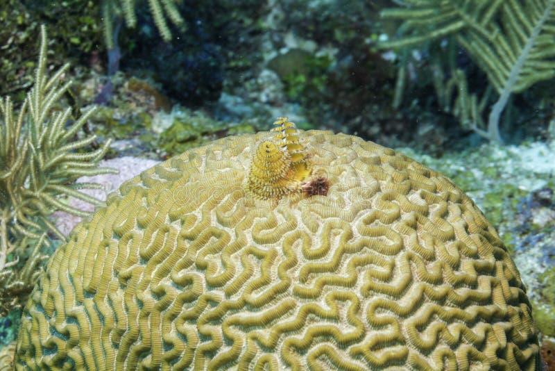 Kerstboomworm op Brain Coral royalty-vrije stock foto's