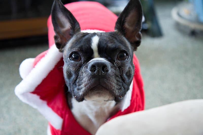 Kerstmis Boston Terrier stock fotografie