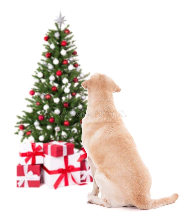 Kerstmis en nieuw jaarconcept - achtermening van golden retriever w royalty-vrije stock foto