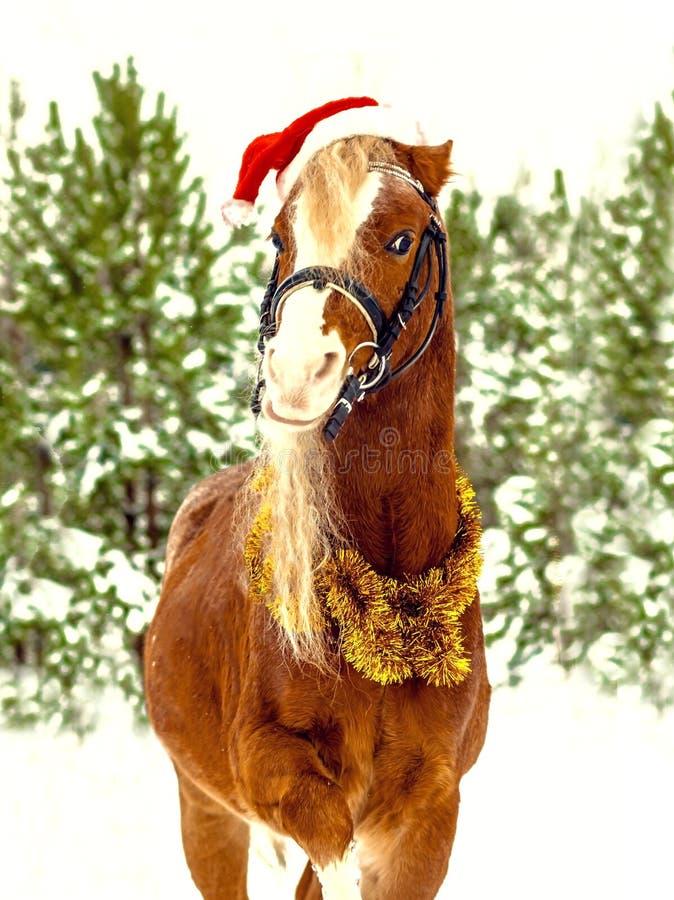 Kerstmis Welse poney in een rood GLB stock foto