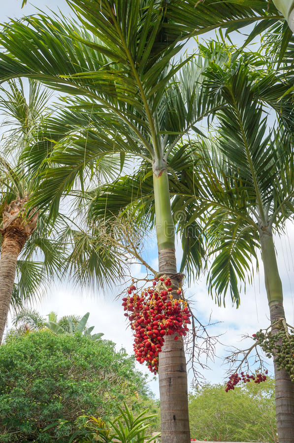 Kerstmispalm of de Palm van Manilla royalty-vrije stock afbeelding