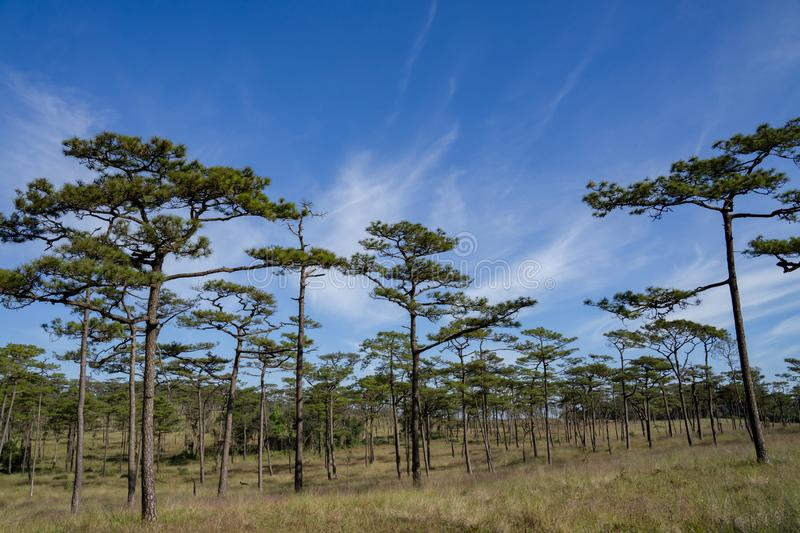 Kesiya pine forest in blue sky and sunny day. royalty free stock photos