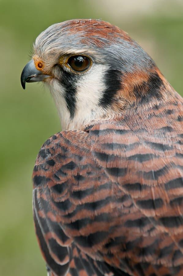 Kestral americano (sparverius del Falco) foto de archivo