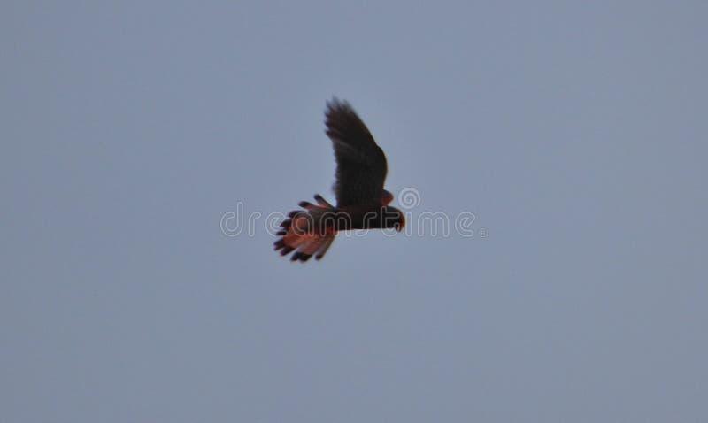 Kestrel в небе ища добыча, фото принятое в Великобританию стоковое фото rf