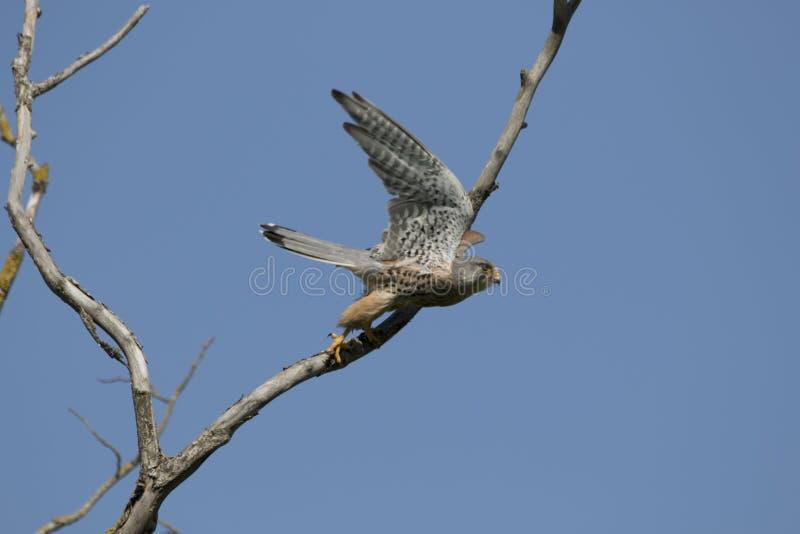 Kestrel в полете, летая стоковые фото