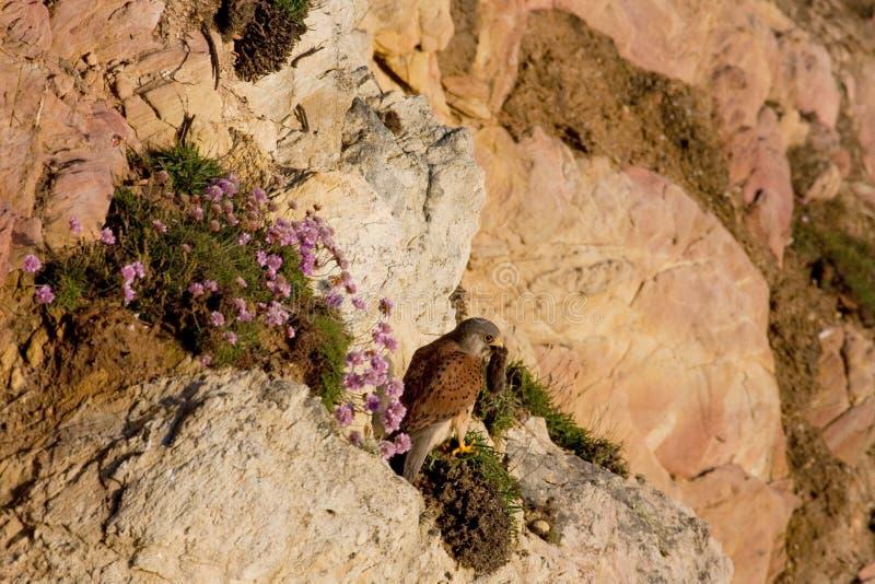 Download Kestrel stock image. Image of vole, food, flowers, seathrift - 14851275