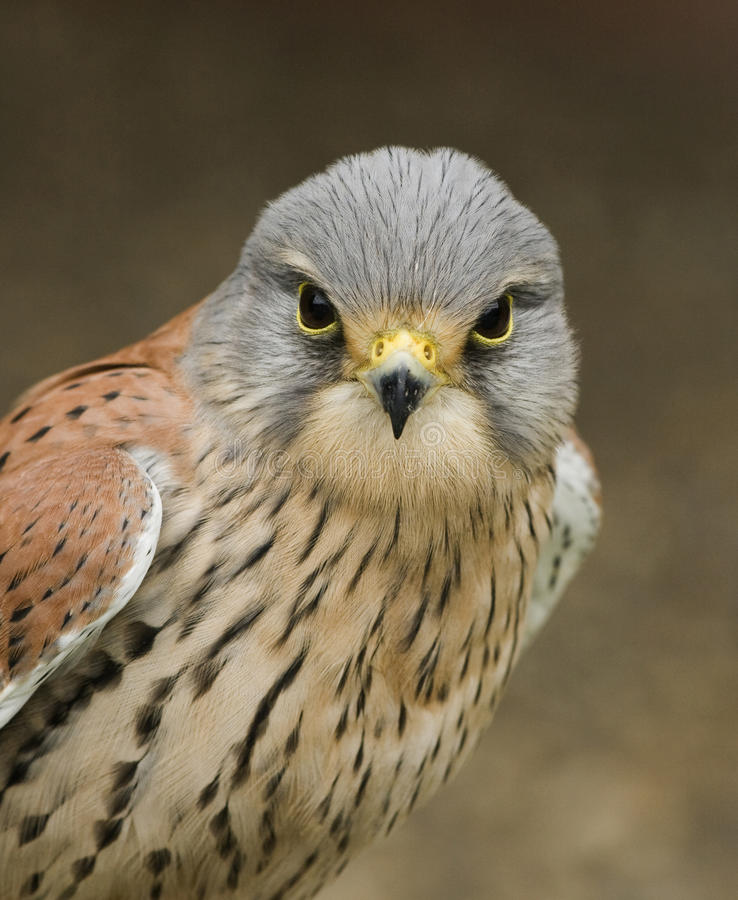 Kestrel. A young kestrel on the look out stock images