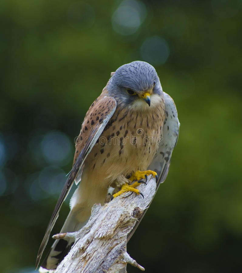 Kestrel. A female Common Kestrel surveying the ground royalty free stock photography