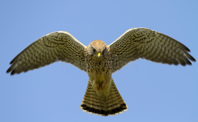 Kestrel. Common Kestrel flying in the sky stock images