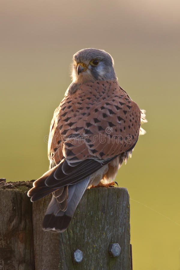 Kestrel. A kestrel on a pole royalty free stock photos