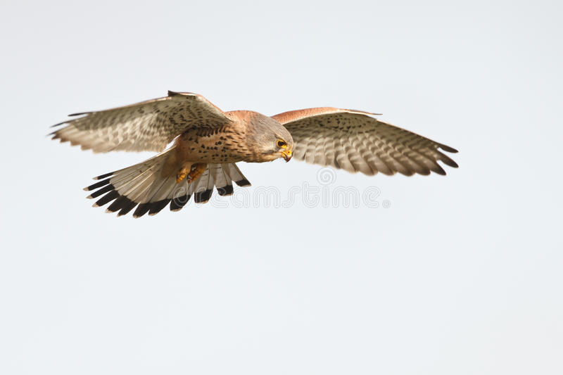 Kestrel. A kestrel flying in the sky royalty free stock photo
