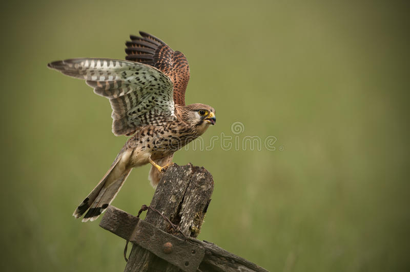 Kestrel. Landing on an old wooden gate. A female Common  (Falco tinnunculus) has just landed on an old wooden farm gate stock image