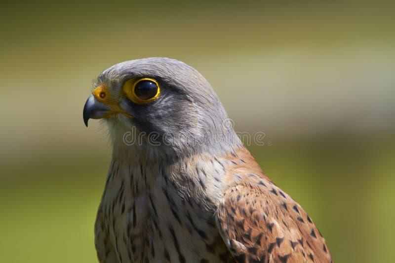 Download Kestrel stock image. Image of portrait, falconry, prey - 25664745