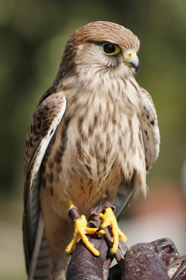 Kestrel. Perched on falconer's glove stock photos