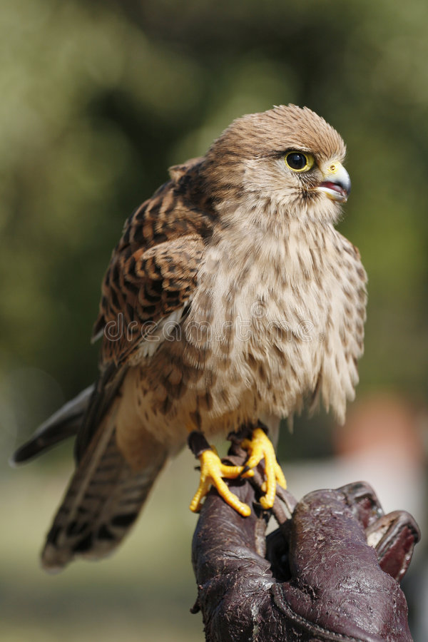 Kestrel immagine stock