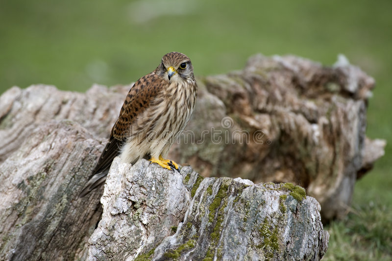 kestrel obraz royalty free