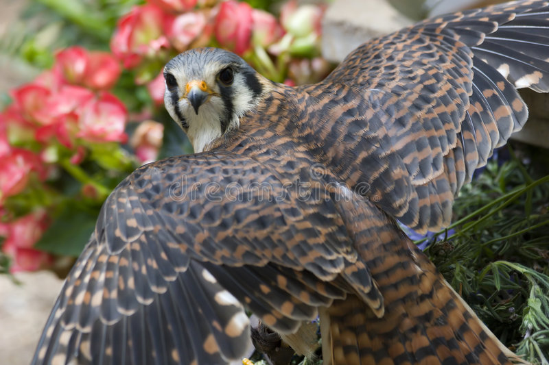 Kestrel. American Kestrel, a Small Falcon with her Wings Spread royalty free stock images