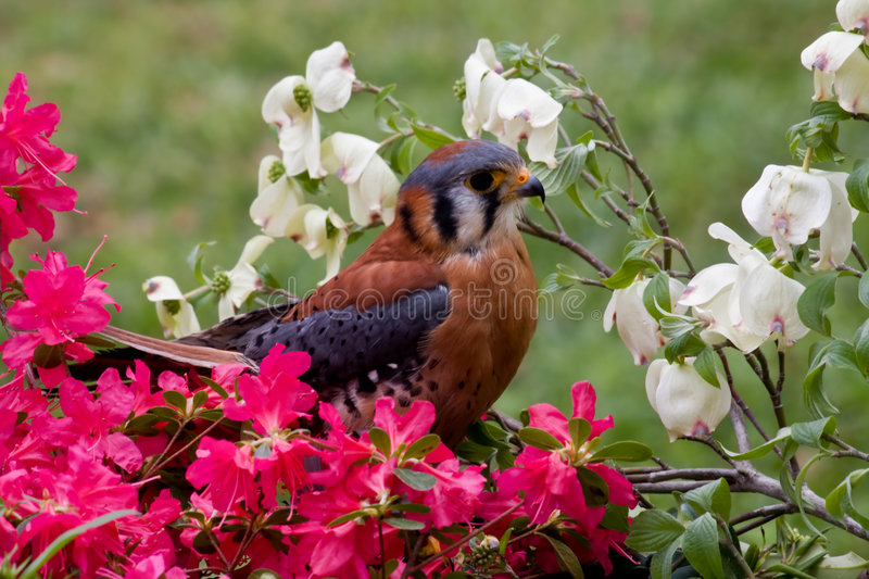 Kestrel. Beautiful American Kestrel Sitting in the Azaleas stock photography