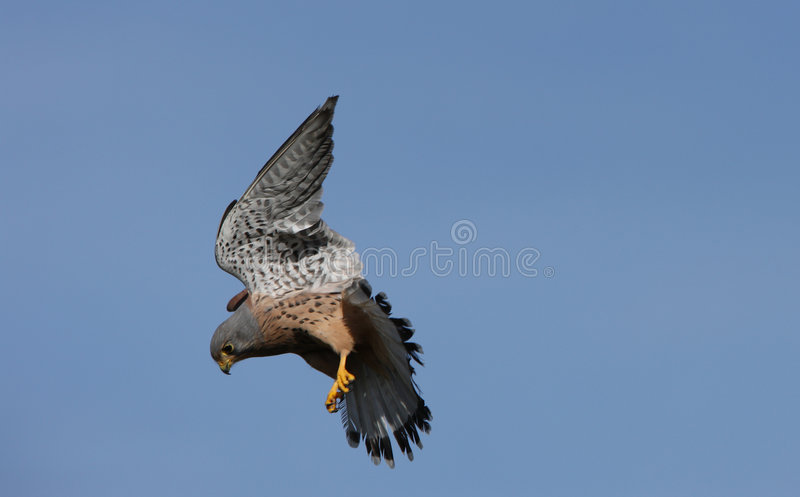 Kestrel. Male Kestrel in flight searching for food stock photography