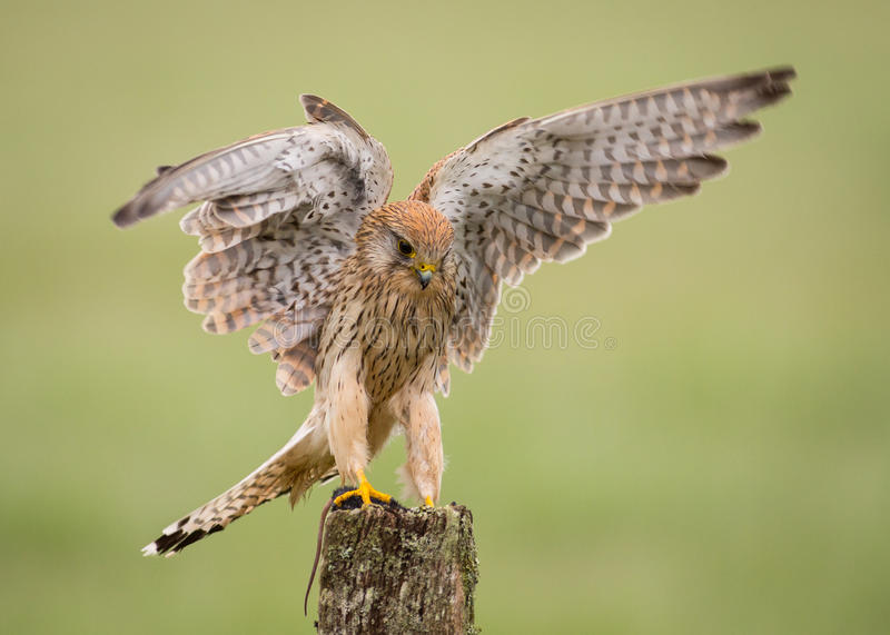 Kestrel bird landing on post. Female Kestrel ( Falco tinnunculus ) bird landing on post with spread wings stock photography