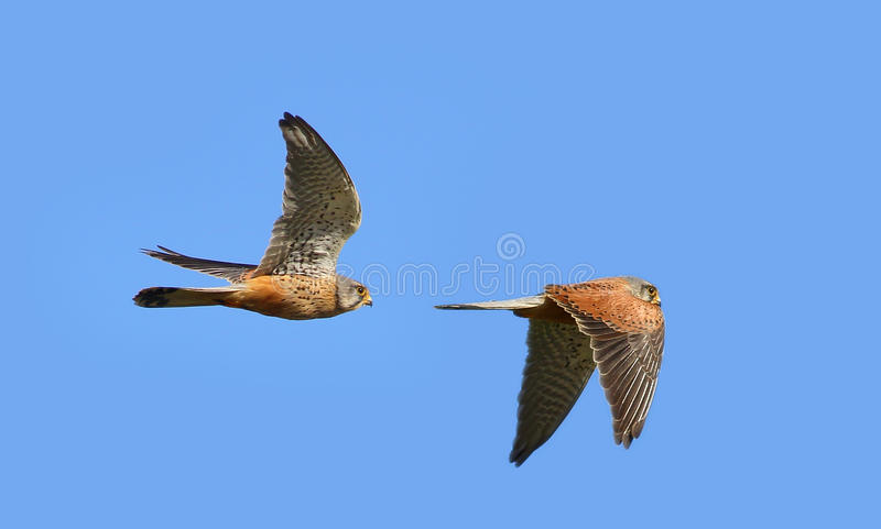 Kestrel bird. Male kestrel bird / kestrels against a blue sky. Same bird collage giving both up and down wing detail stock photos