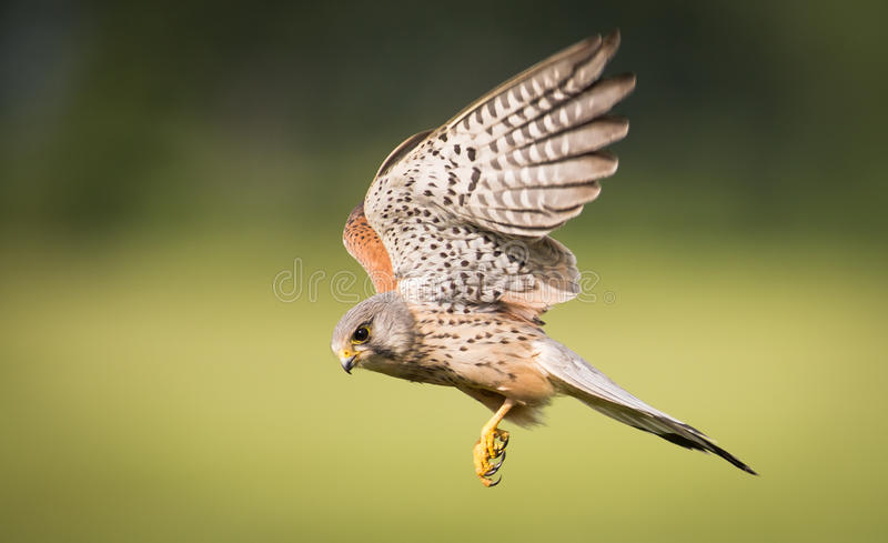 Kestrel bird of prey in flight. Male Kestrel ( Falco tinnunculus ) bird of prey in flight royalty free stock photography