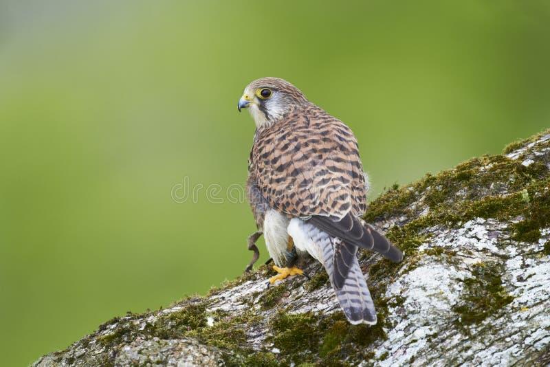 Download Kestrel stock photo. Image of avian, lone, nature, captive - 41961574