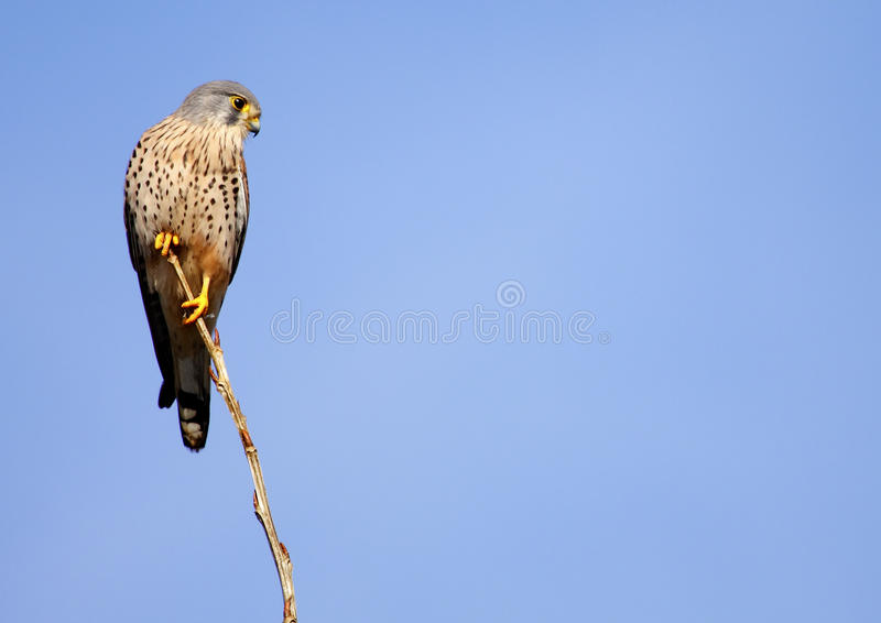 Download Kestrel common stock image. Image of colorful, falco - 21977827