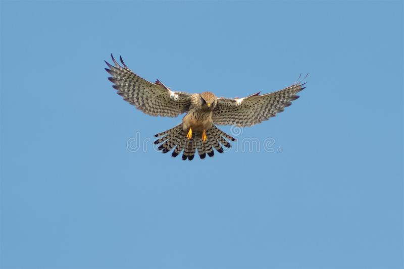 A Kestrel or Common Kestrel hovering in flight. stock photo