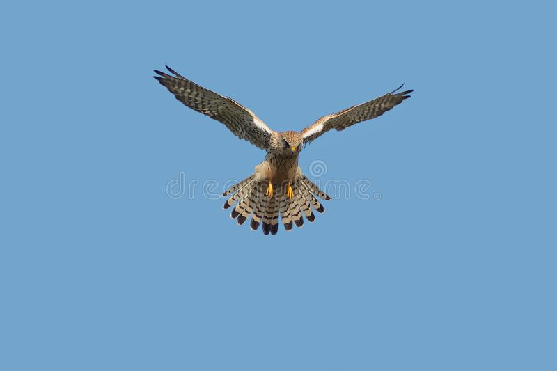 A Kestrel or Common Kestrel hovering in flight. A Kestrel or Common Kestrel, Falco tinnunculus tinnunculus, hunting, hovering in flight, against a clear blue royalty free stock photos