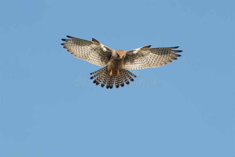 A Kestrel or Common Kestrel hovering in flight. stock photos