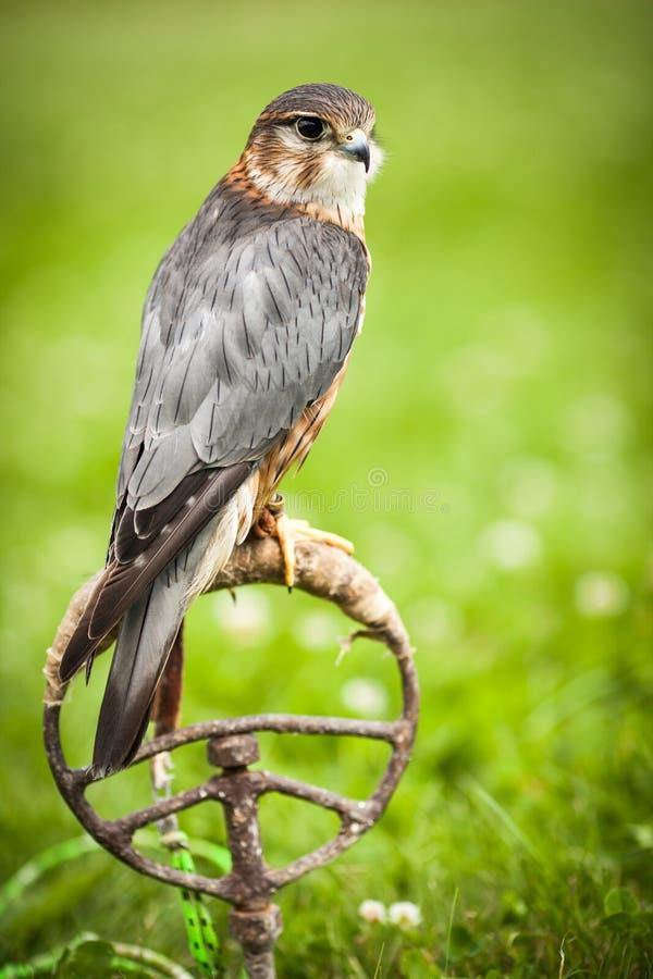 Kestrel comum - tinnunculus do Falco foto de stock