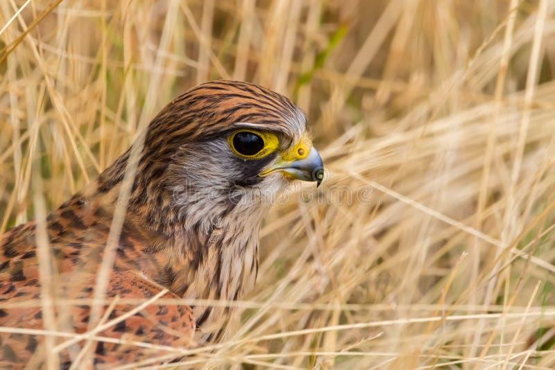 Kestrel comum, tinnunculus do Falco fotografia de stock