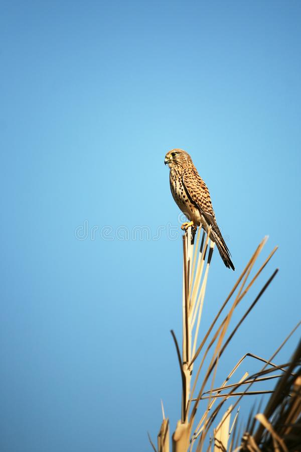 Kestrel Falco tinnunculus perched on th top of a tree looking for mice or voles to hunt. Natural blue sky background royalty free stock photo