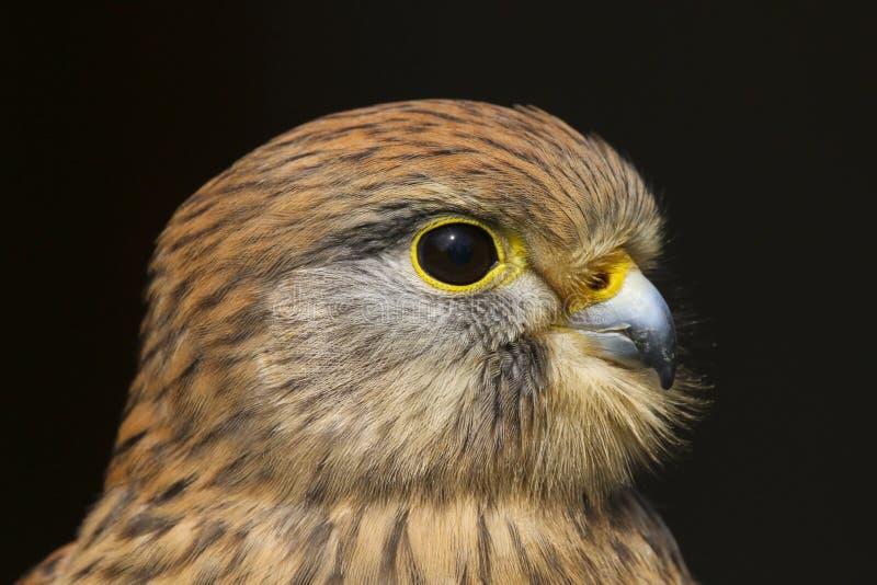 Kestrel falco tinnunculus ptak zdobycz obrazy royalty free