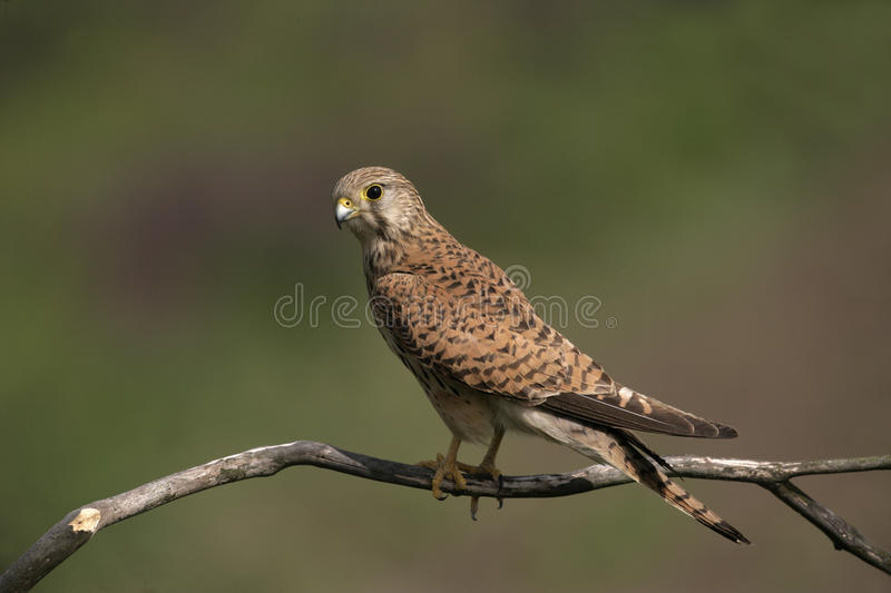 Kestrel, Falco tinnunculus. Single female on branch, Hungary royalty free stock images