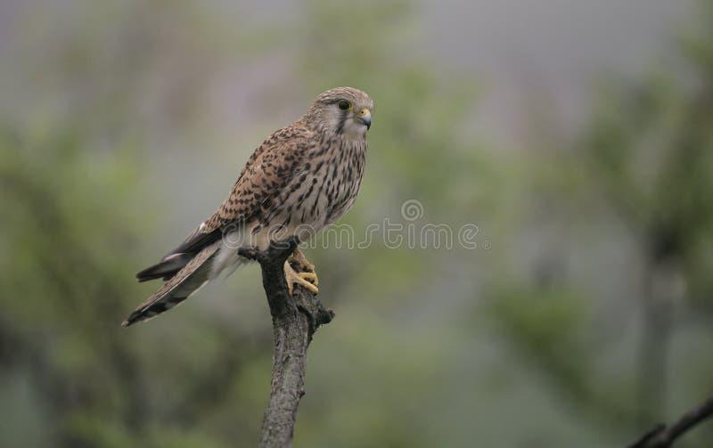 Kestrel, Falco tinnunculus. Single female on branch, Hungary stock photos