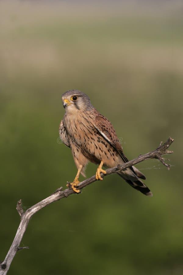 Kestrel, Falco tinnunculus. Single male on branch, Hungary stock photo
