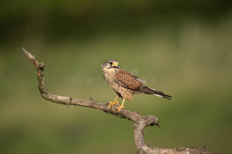 Kestrel, Falco tinnunculus. Single male on branch, Hungary royalty free stock images