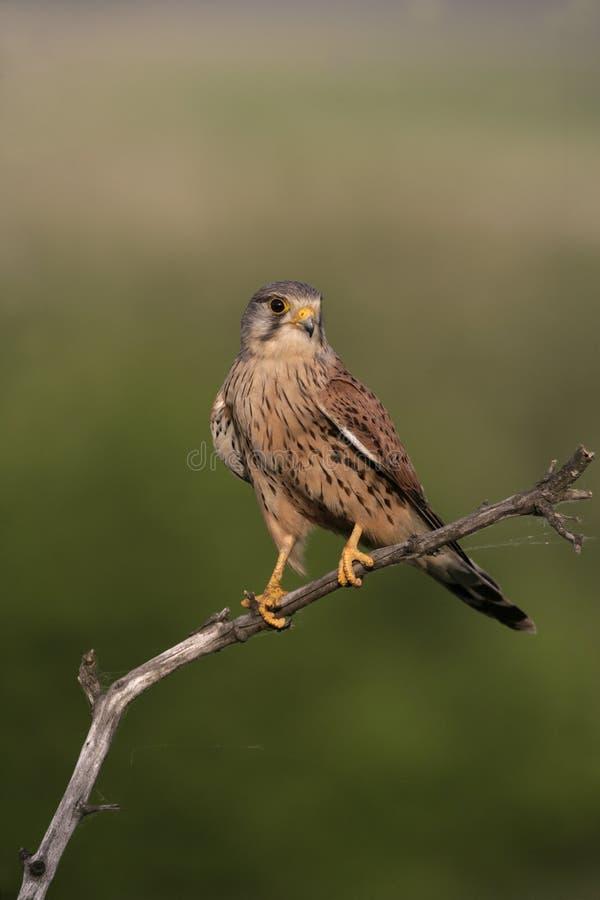 Kestrel, Falco tinnunculus. Single male on branch, Hungary royalty free stock photography